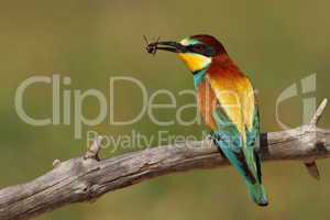 Merops apiaster bee-eater with a bee