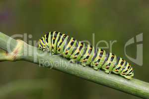 Papilio machaon caterpillar over a green plant stalk