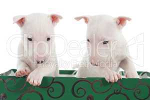 Two white bull terrier puppies in a green box