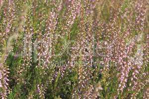 Besenheide (Calluna vulgaris) / Common heather