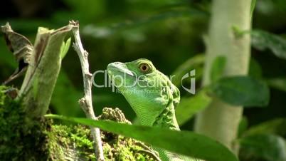 Amerikan Lizard