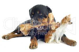 rottweiler, chihuahua and bone