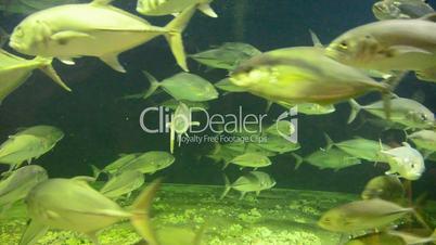 Fish swimming in circles in a aquarium