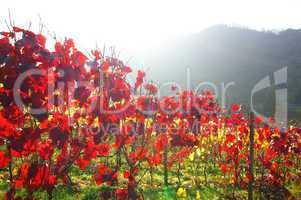 gelb-roter Weingarten