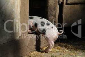 Bentheimer Landschweine