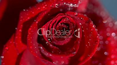 Close up of a raindrop falling on a red rose