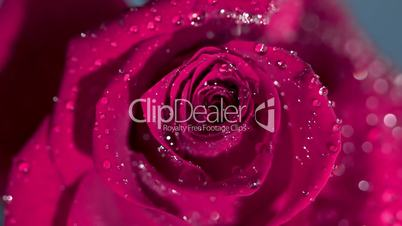 Close up of a raindrop falling on a pink rose