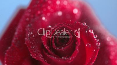 Close up of the raindrop dripping on a rose