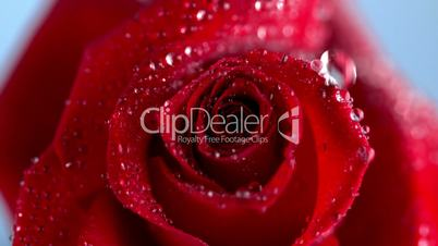 Close up of the raindrop dripping on a red rose