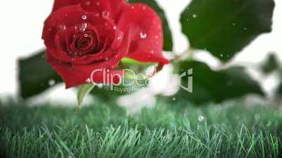 Red rose falling and bouncing on a green ground