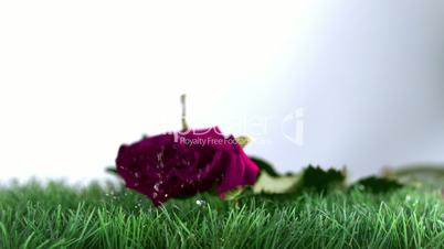 Pink rose falling and bouncing on a green ground