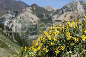 Wildflowers in the Wasatch, Utah