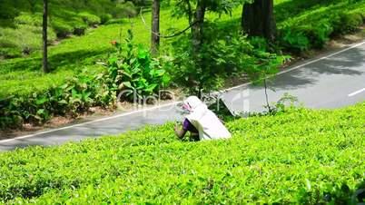 worker collecting tea in sri lanka