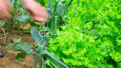 farmer controling green lettute