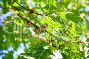 Acorns in red oak tree