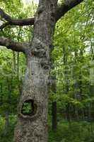 Hollow white oak tree in forest