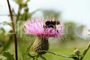Bumblebee collects thistle pollen