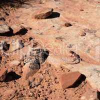 Desert lizard on rock ledge