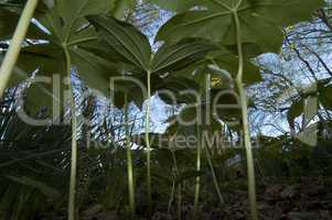 Mayapple, A Bug's Eye View
