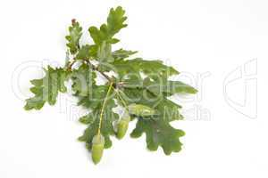 Eiche- Quercus