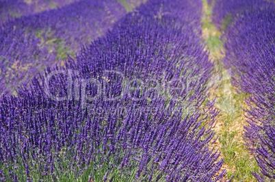 Lavendelfeld - lavender field 20
