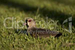 Southern Lapwing sitted on the Grass