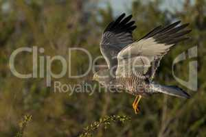 Cinereous Harrier flying