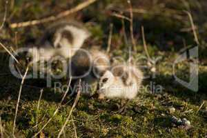 Chick of Upland Goose