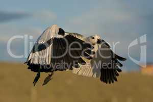 Flying Male Upland Goose