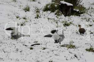 Two Male Upland Geeses over the snow