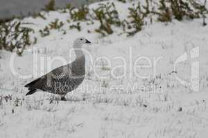 Male Upland Goose over the snow
