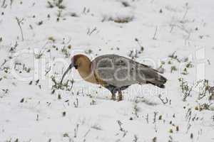 Black-faced Ibis on the Snow