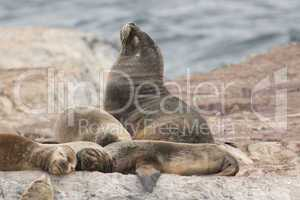 South American Sea Lions