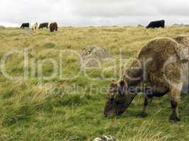 Cattle rough grazing on Moorland