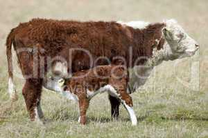 Cow feeding calf