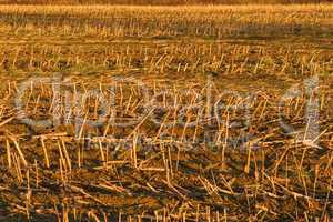 Cornfield after the harvest