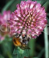 Bumblebee on a Clover Bloom