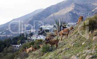 Goats Graze on Mountainside
