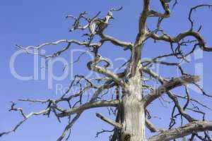 dead barkless standing pine
