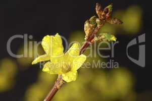Blossoming Forsythia with rain drop