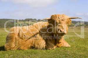Highland bull sitting in field