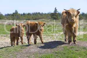 Highland cow and calves