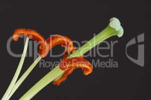 Anatomy of of tulip flower