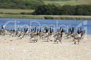 Flock of Canada Geese