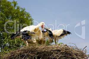 Storkes