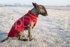 dressed bull terrier