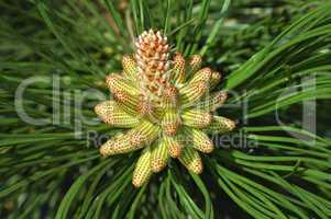 Male pine tree flower