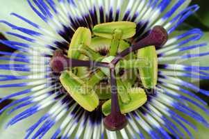 Common Passion Flower