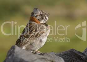 Rufous Collared Sparrow, Chile