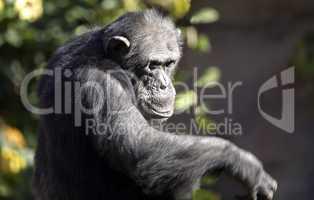 Mature Chimp